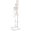Fabrication Enterprises Anatomical Model - Shorty the Mini Skeleton on Hanging Stand FNT 12-4505
