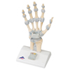 Fabrication Enterprises Anatomical Model - Hand Skeleton with Ligaments FNT 12-4521
