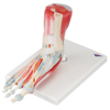 Fabrication Enterprises Anatomical Model - Foot Skeleton with Removable Ligaments & Muscles, 6-Part FNT 12-4524
