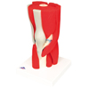 Fabrication Enterprises Anatomical Model - Knee Joint with Removable Muscles, 12-Part FNT 12-4527