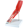 Fabrication Enterprises Anatomical Model - Elbow Joint with Removable Muscles, 8-Part FNT 12-4528