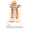 Fabrication Enterprises Anatomical Model - Cervical Spinal Column FNT 12-4539