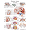 Fabrication Enterprises Anatomical Chart - Human Brain, Paper FNT 12-4600P