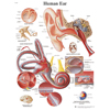 Fabrication Enterprises Anatomical Chart - Ear, Paper FNT 12-4606P