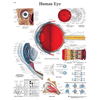 Fabrication Enterprises Anatomical Chart - Eye, Paper FNT 12-4607P