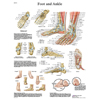 Fabrication Enterprises Anatomical Chart - Foot & Ankle, Sticky Back FNT 12-4608S
