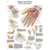 Fabrication Enterprises Anatomical Chart - Hand & Wrist, Sticky Back FNT 12-4609S
