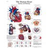 Fabrication Enterprises Anatomical Chart - Human Heart, Laminated FNT 12-4610L