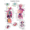Fabrication Enterprises Anatomical Chart - Lymphatic System, Laminated FNT 12-4613L