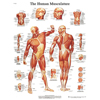 Fabrication Enterprises Anatomical Chart - Musculature, Laminated FNT 12-4614L